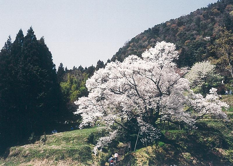 桜、お花見、佛隆寺、奈良っこ、奈良。