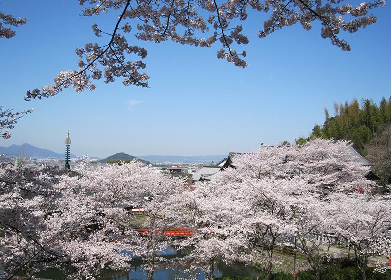 桜、お花見、安倍文殊院、奈良っこ、奈良。
