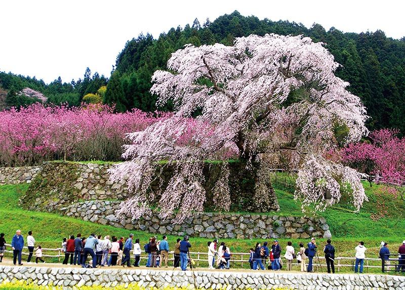 桜、お花見、又兵衛桜、奈良っこ、奈良。