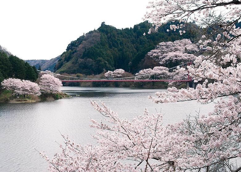桜、お花見、月ヶ瀬村、奈良っこ、奈良。