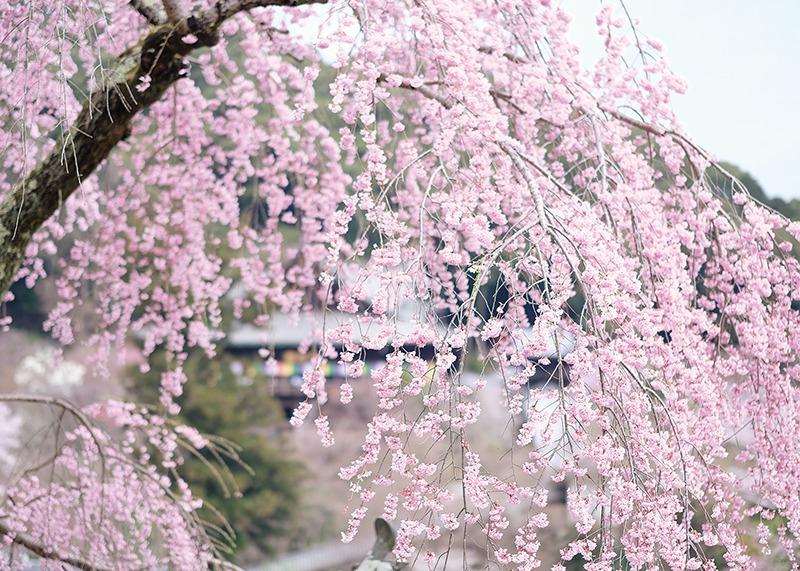 桜、お花見、長谷寺、奈良っこ、奈良。