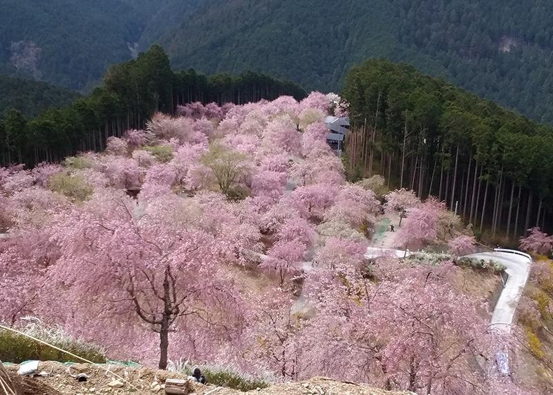 桜、お花見、高見の郷、奈良っこ、奈良。