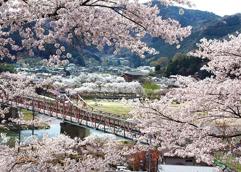 桜、お花見、笠置自然公園、奈良っこ、奈良。