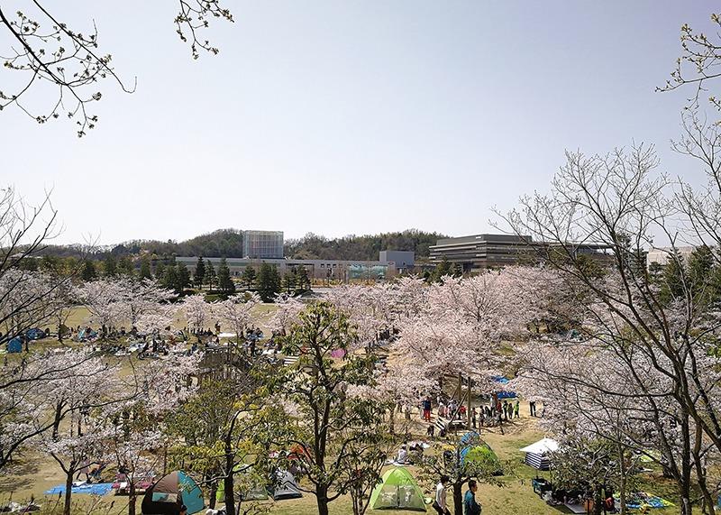 桜、お花見、けいはんな記念公園、奈良っこ、奈良。