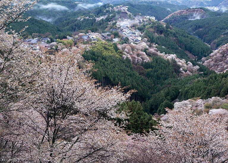 桜、お花見、吉野山、奈良っこ、奈良。