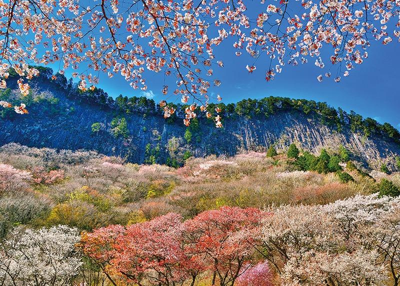 桜、お花見、屏風岩、奈良っこ、奈良。