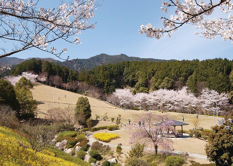 桜、お花見、葛城山麓公園、奈良っこ、奈良。